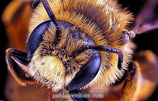 How Many Eyes Do Bees Have Facet And Photographic Vision Nature 2020