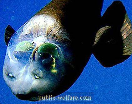 The fish with a transparent head has a unique optical system of the eye.